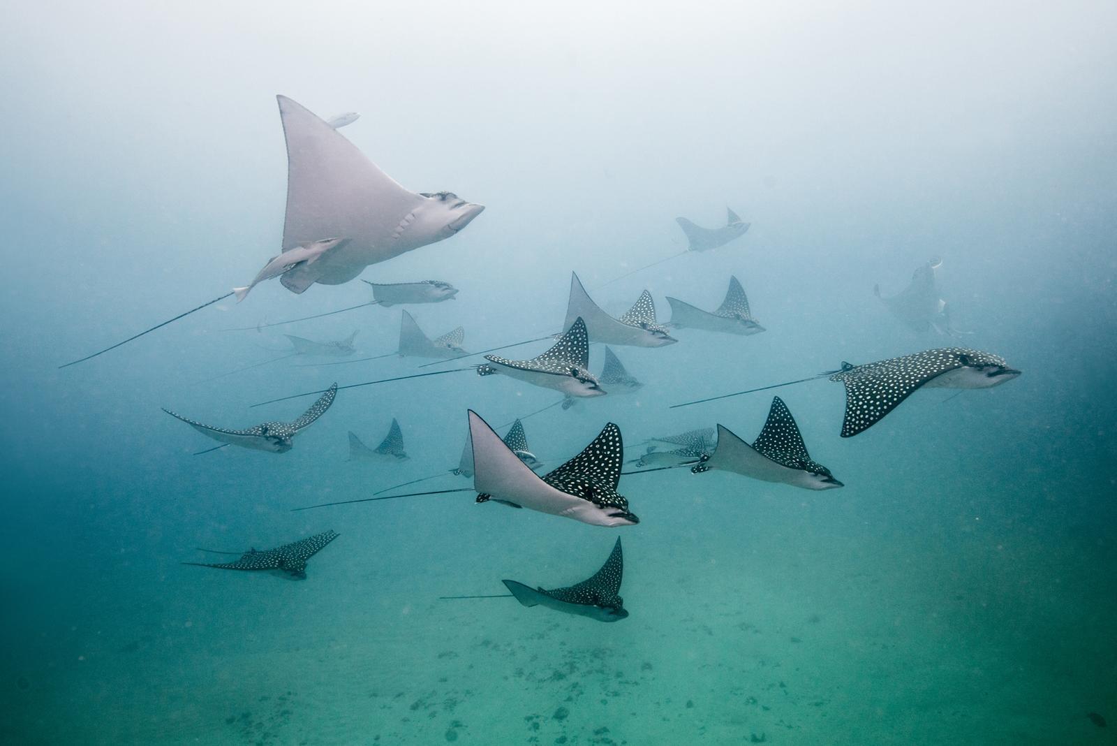 spotted eagle rays, Aetobatus narinari, Little Corn Island, Nicaragua, Caribbean, Atlantic Ocean